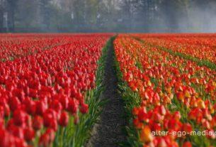 Тюльпановые поля Германии